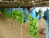Banana Processing