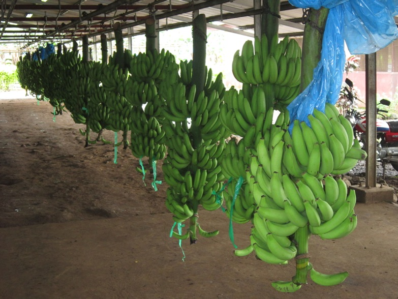 Unique Global GAP Certification for CDC Bananas | Cameroon ...